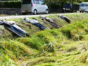 Rice Harvestingの画像
